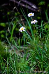 wildflowers #2 (Buzz Click Photography) Tags: camping canada calgary hiking alberta spike banff lakelouise albertacanada banffnationalpark radiospike canadianrockies buzzclick july2010 buzzclickphotography