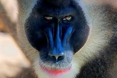 IMG_7648_-2_-3-hdri (dirk hinz) Tags: look animal animals zoo monkey tiere looking right hannover monkeys 2009 dirk hdr hinz tier hdri affen affe hannoverzoo dirkhinz monkeylookingright