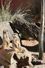 Day1_281 (wolftracker) Tags: zoo oz sydney australia nsw tarongazoo meerkats sydneyzoo sydneyaustralia