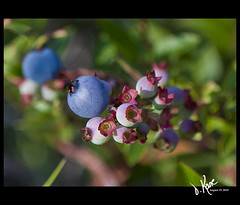 New Crop (Dana Kane) Tags: blue berries crop blueberries scenics bnch notjustlandscapes