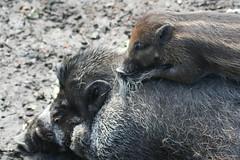 piglet on momma's back (Mandy Verburg) Tags: animal zoo pig blijdorp piglet dier animalpark varken dierentuin biggetje