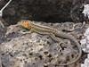 Santa Cruz - Puerto Ayora - Lava Lizard #2