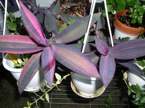 PurpleHtVar8-10