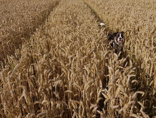 フリー写真素材, 自然・風景, 田畑・農場, イネ科, 小麦・コムギ, 犬・イヌ,