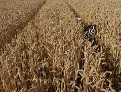 [フリー画像] 自然・風景, 田畑・農場, イネ科, 小麦・コムギ, 犬・イヌ, 201008222300