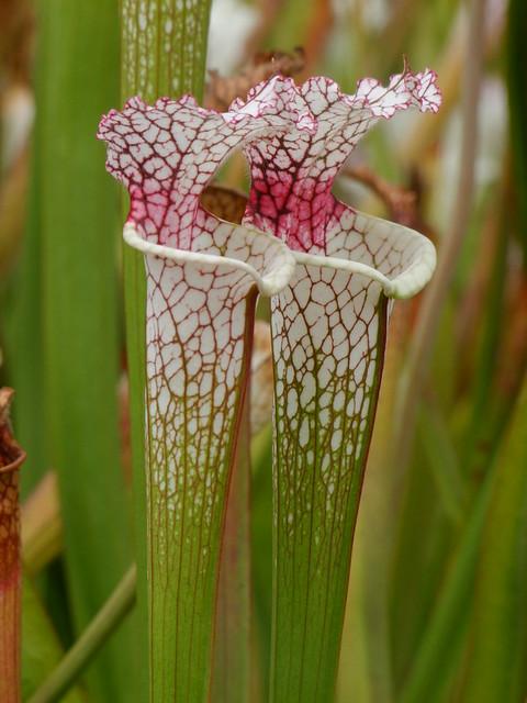 Quelques leucophylla... 4907315430_f145c1c651_z