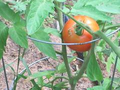 ripe tomato!