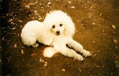 La mejor (whachadoin) Tags: dog naturaleza 3 color film analog perro poodle campo sanvicente merlina análoga prakticamtl3 scaneada pentacon50mm18