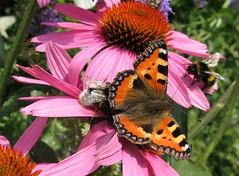 Three's a crowd (langkawi) Tags: pink flowers summer orange butterfly ilovenature echinacea insects bumblebee papillon coneflower langkawi aglaisurticae schmetterling hummel kleinerfuchs naturesfinest purpursonnenhut smallturtoiseshell