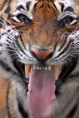 intimidacin (agarcia2727) Tags: de mexico zoo tiger felino zoolgico tigre edo toluca zacango