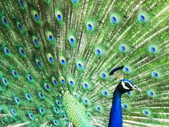 A peacock at his dance