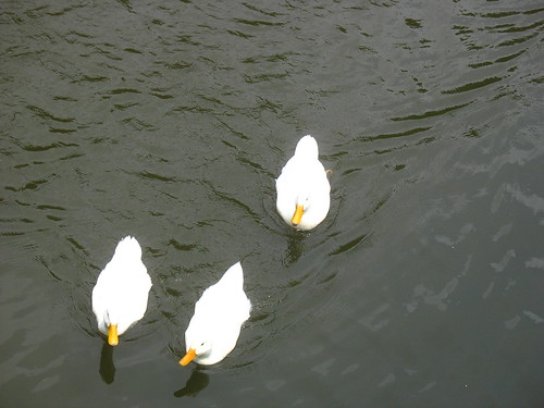 natnote ducks