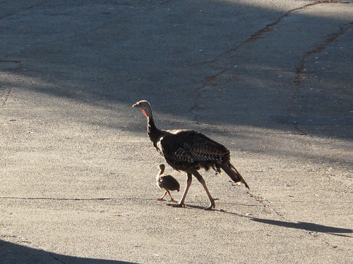 late August 2010: mama turkey and baby