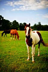 Staring Contest (geoff.greene) Tags: horses delete10 delete9 delete5 50mm delete2 delete6 delete7 delete8 delete3 delete delete4 save save2 dcist project36550 canon5dmark2 geoffgreenephotography deletedbydeletemeuncensored