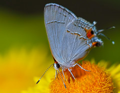 Dancing In The Midday Sun (Uncle Phooey) Tags: orange macro nature closeup butterfly insect wings gray explore missouri tiny chacha ozarks hairstreak strawflower strymonmelinus grayhairstreak strymon melinus southwestmissouri grayhairstreakbutterfly unclephooey dancinginthemiddaysun