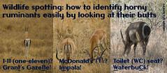 genus: Aepyceros. Wildlife spotting: how to identify some ruminants