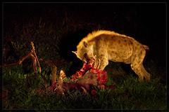 The law of the jungle (hvhe1) Tags: africa food nature animal night southafrica bravo nacht wildlife meat safari prey predator hyena antilope scavenger kudu naturesfinest malamala interestingness7 roofdier privategamereserve specanimal hvhe1 hennievanheerden aaseter