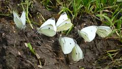 Small White Kleiner Kohlweißling (Aah-Yeah) Tags: white butterfly bayern kleiner schmetterling pieris achental samll rapae chiemgau tagfalter marquartstein kohlweisling