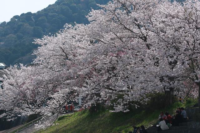 Cherry Nhat - Sakura