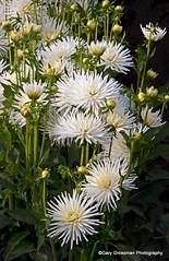 White Dahlias (Gary Grossman) Tags: dahlia flowers oregon garden northwest blossoms blooms swanislanddahlias