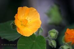 y e l l o w ( Graa Vargas ) Tags: flower yelllow mv graavargas duetos 2010graavargasallrightsreserved