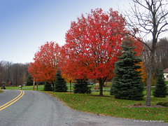 Red Tree (Rafakoy) Tags: road red color colour tree fall nature colors grass digital canon colours pennsylvania pavement path ps pa 2008 honesdale laurella sd600 aldorafaelaltamirano rafaelaltamirano aldoraltamirano