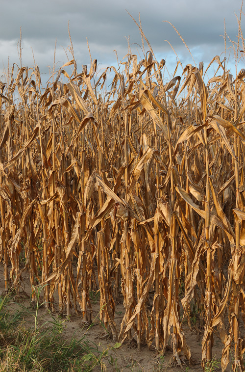 Cornstalks ready for harvest, in the Chesterfield Valley, Saint Louis, Missouri, USA
