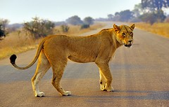South Africa, right of way!!! (Vittorio Ricci (thanks +++ 3.7millions views)) Tags: lioness pantheraleo southafrica krugernp