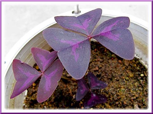 Oxalis triangularis spp. Triangularis (Purple/Lucky Shamrock, Dark Leaf Shamrock, Purpleleaf False Shamrock) sprang back to life!