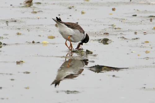plover gets the worm 2