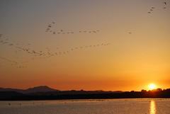 Volo al tramonto (Tamparinu) Tags: sardegna tramonto sole cagliari molentargius fenicotteri stagno canneto quartusantelena