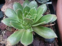 Aeonium x lidii (Aeonium simsii x percarneum) San Mateo Gran Canaria (bramwellii) Tags: grancanaria aeonium hibrido simsii colfelixloarte