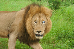 One Eyed Lion (centauri417) Tags: africa southafrica scary blind lion safari staring kruger glaring oneeyed