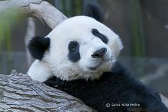 Bai Yun and Gao Gao's cub is one handsome panda bear. (Rita Petita) Tags: china california panda sandiego giantpanda sandiegozoo pandas pandacub