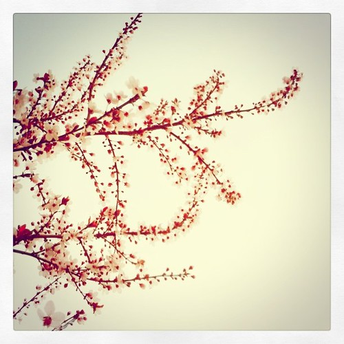 Plum blossoms from my backyard