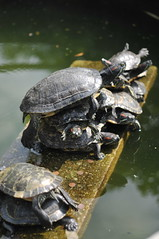 Sunbath turtles (Melinda ^..^) Tags: yoga turtle reptile sunbath mel melinda macau   chanmelmel  kuniamtongtemple