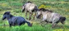Three Wild Horses (brianfuller6385) Tags: horses kent marsh hdr wildhorses oare photomatix konikhorses