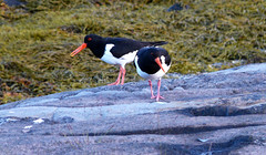 #0735 Eurasian Oystercatchers (Fjordblick) Tags: bird nature water birds norway norge wasser natur norwegen oystercatcher vögel artic oystercatchers nordnorge vogel fugler norsk tjaldur nordland eurasianoystercatcher nordnorwegen haematopusostralegus scholeksters kjerringøy northernnorway austernfischer tjeld mygearandme ringexcellence rememberthatmomentlevel1 rememberthatmomentlevel2 infinitexposure