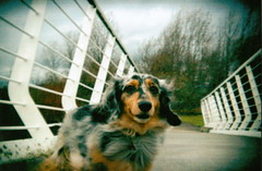You must be looking at me (western4uk) Tags: sam dachshund miniaturedachshund merseyside widnes silverdapple pickeringspasture holga135bc