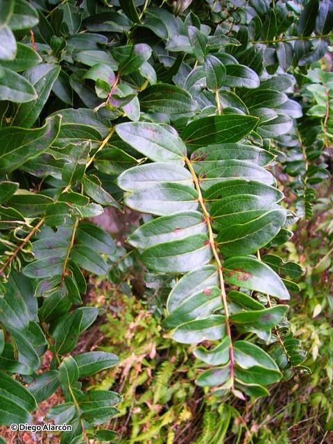 Rama colgante de <i>Coriaria ruscifolia</i>. Interior de Curicó, Región del Maule. <br><br>Se puede apreciar la distribución de las hojas en la ramilla, y el patrón de las nervaduras de las hojas.