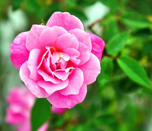 Wordless Wednesday: Morning Rose