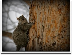 """""""Now don't look while I check out my stash!"""" (flowerwine) Tags: winter portrait tree texture climb squirrel bokeh wildlife branches bark 18200mm canon7d"""