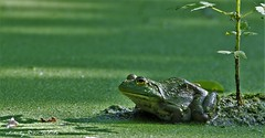 cool as a .... (don.white55 plunging headlong.) Tags: americanbullfroglithobatescatesbeianus pennsylvaniacanal wildwoodpark harrisburgpennsylvania donwhite thatswildnaturephotography canoneos70d tamronsp150600mmf563divcusda011 tamron150600mm 150600mm animal amphibian wildlife nature fallentree duckweed green frog frogeyes scenic