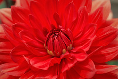 RUS62741(Dahlia. Bright & Red) (rusTsky) Tags: plant flower blossom bloom nature red bright dahlia summer sunny outdoor closeup close macro bokeh canon ef100mm ef100mmf28l eos