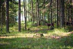At the Cabin (megan423) Tags: dog woods northwoods wisconsin green trees lake cabin lakehouse brindle oxbowlake presqueisle travelwi
