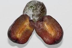 Podocarpus elatus (andreas lambrianides) Tags: podocarpuselatus podocarpaceae brownpine whiteplum australianflora australiannativeplants australianrainforests australianrainforestplants australianrainforestfruits arffs arfp qrfp cyrfp ntrfp nswrfp dryarf welldevelopedrainforest littoralarf tropicalarf plumpine bluearffs