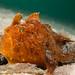 Antennarius striatus anglerfish