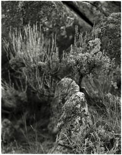 Sage in a crag