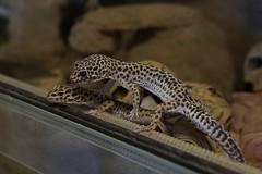 20170626X1858_Leopardgecko_0002 (RascheBilder) Tags: leopardgecko raschebilder