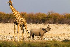 IMG_7766 copie (kaloul) Tags: namibie wild afrique namibia africa faune sauvage rinoceros rino girafe